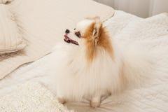 狗坐床 免版税库存照片