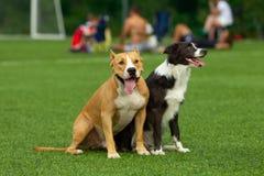 狗坐绿草背景在橄榄球场的 免版税库存照片