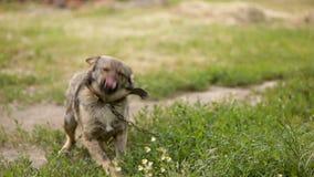 狗坐链子 多品种 在黏合剂 挥动他的尾巴,高兴 语音 股票录像