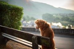 狗坐长凳和神色在黎明 红色新斯科舍鸭子敲的猎犬,鸣钟人本质上 库存图片