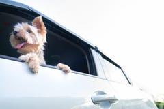 狗垂悬的愉快的约克夏狗是舌头在他的m外面 库存图片