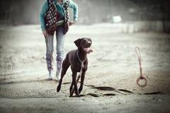 狗培训 库存照片
