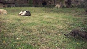 狗基于草在废墟和关于视域的灰色狭窄小道 股票录像