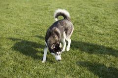 狗多壳的西伯利亚人 库存照片