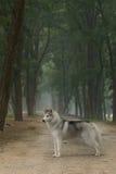 狗多壳的西伯利亚人 图库摄影