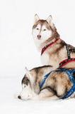 狗多壳的西伯利亚雪撬 免版税库存照片