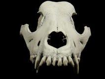 狗头骨的前面射击没有下颌的 图库摄影