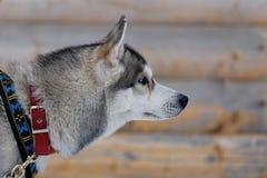 狗头 免版税图库摄影