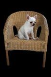 狗奇瓦瓦狗坐编织的藤条椅子 免版税图库摄影