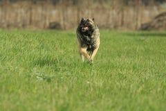 狗奔跑用棍子 免版税库存照片