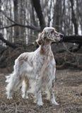 狗宠物英国塞特种猎狗 免版税库存图片