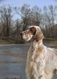狗宠物英国塞特种猎狗 库存照片