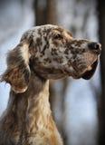 狗宠物英国塞特种猎狗 免版税库存照片