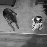 狗对R2-D2 免版税库存照片