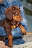 狗小狗品种达克斯猎犬在手边男孩、少年和他的宠物 库存照片