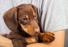 狗小狗品种达克斯猎犬在手边男孩、少年和他的宠物 图库摄影
