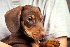 狗小狗在男孩,少年a的肩膀的品种达克斯猎犬 免版税库存图片