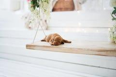 狗小狗是被隔绝的睡觉 库存图片