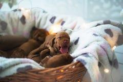 狗小狗是被隔绝的睡觉 免版税库存图片