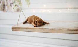 狗小狗是被隔绝的睡觉 图库摄影
