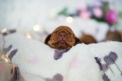 狗小狗是被隔绝的睡觉 免版税库存照片