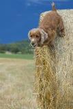 狗小狗猎犬跳跃的干草 免版税库存照片