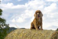 狗小狗猎犬跳跃的干草 库存照片