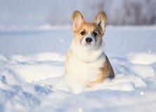 狗小狗的小红发小狗在深白色随风飘飞的雪走在冬天在有用雪盖的鼻子的公园 库存照片