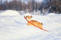 狗小狗的红发小狗在深白色随风飘飞的雪走在冬天在公园在拿着在他的一好日子一条皮带 免版税库存照片