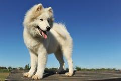 狗小狗萨莫耶特人 图库摄影