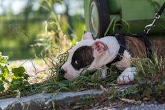 狗小狗连接狗皮带 库存照片