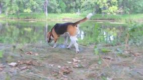 狗小猎犬在森林走 股票录像