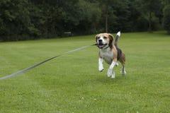 狗小猎犬跑室外在公园 免版税库存图片