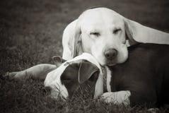 狗小睡的二 免版税库存照片
