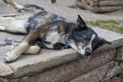 狗小睡的雪撬 免版税库存照片