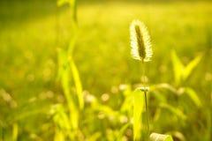狗尾巴草草在阳光下 库存照片