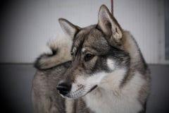 狗展示-西西伯利亚Laika画象 免版税库存照片