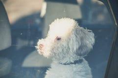 狗左单独在汽车 库存图片