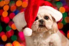 狗帽子圣诞老人佩带 免版税库存照片