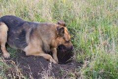 狗开掘的孔 免版税库存照片