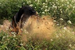 狗开掘 免版税库存图片