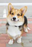 狗彭布罗克角威尔士小狗微笑 库存照片