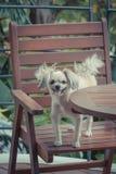 狗很逗人喜爱在椅子 免版税库存图片