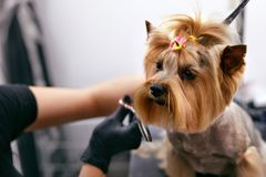 狗得到头发切开在宠物温泉修饰沙龙 狗特写镜头  免版税库存图片