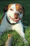 狗微笑的棍子 免版税库存照片