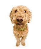 狗微笑 免版税库存图片