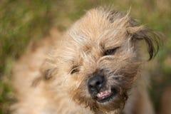 狗微笑 图库摄影