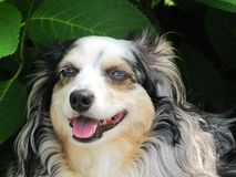 狗微笑 库存照片