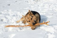 狗德国牧羊犬咬在雪的一根棍子 库存照片
