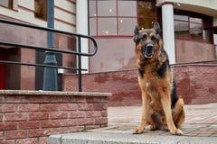 狗德国牧羊犬在一个城市在一天 库存图片